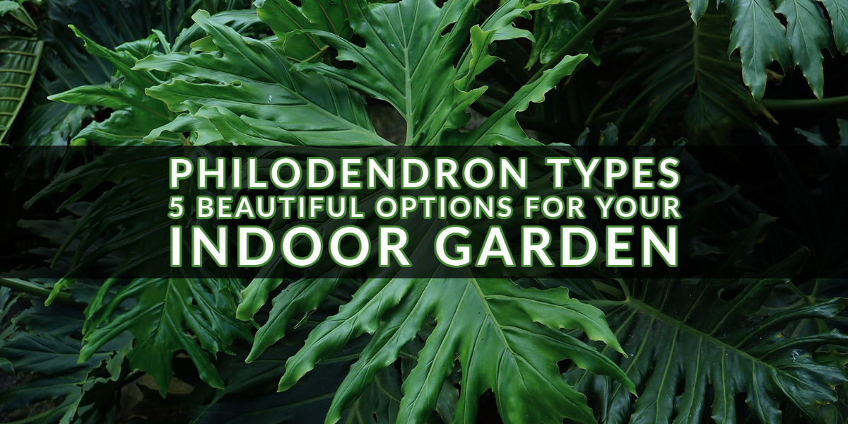 Philodendron Types 5 Beautiful Options for Your Indoor Garden