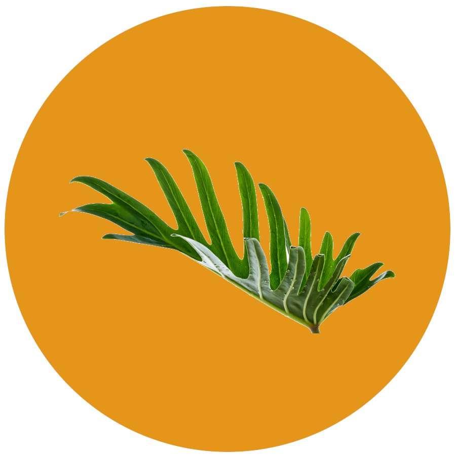 Philodendron Xanadu Type