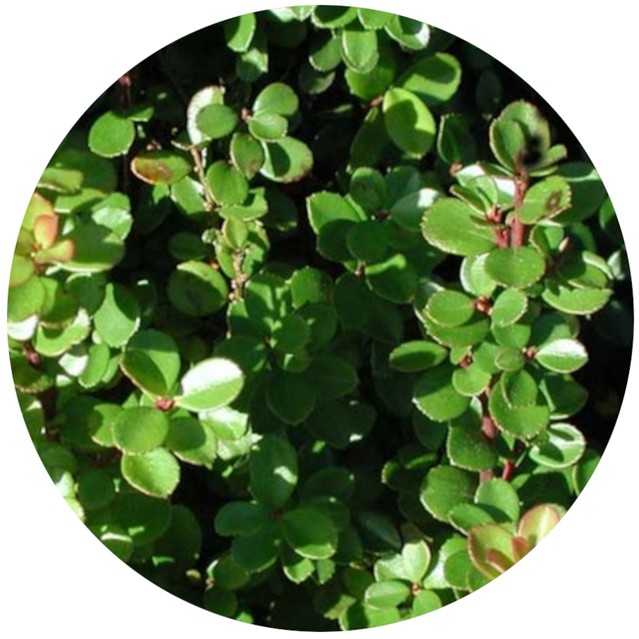 Poisonous Plants - African Boxwood