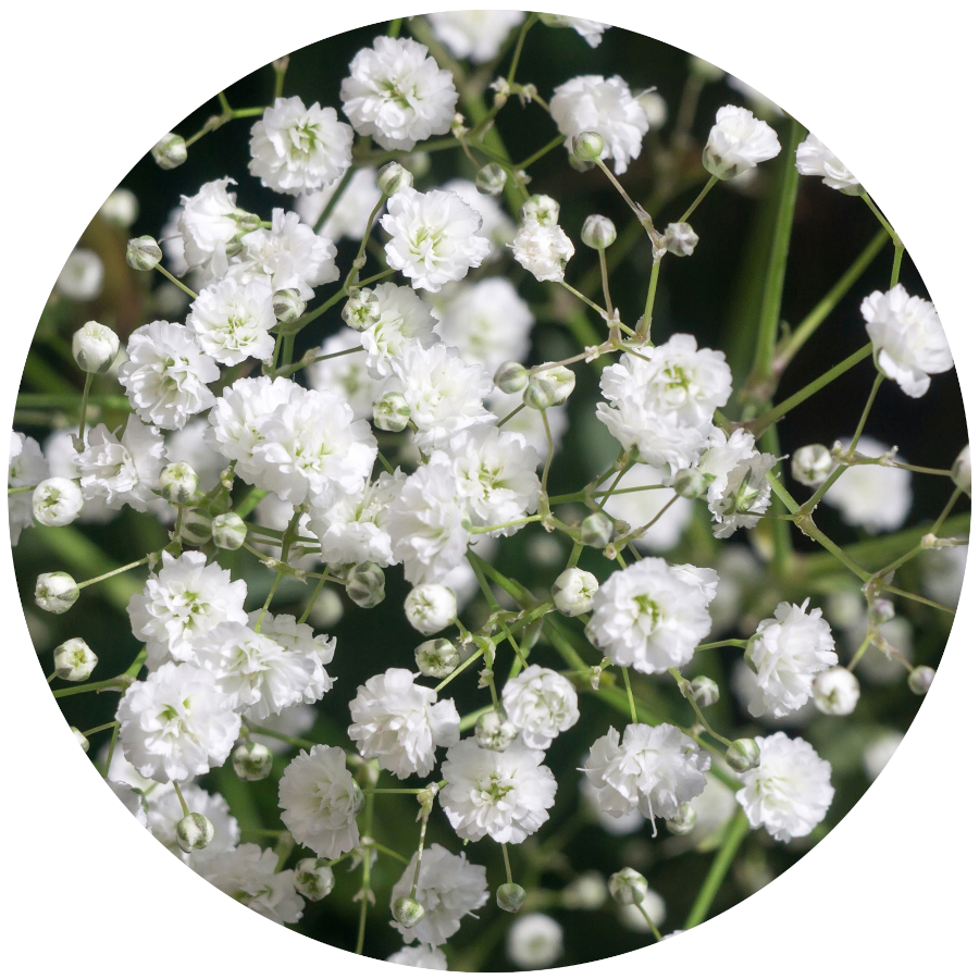 Poisonous Plants - Baby's Breath