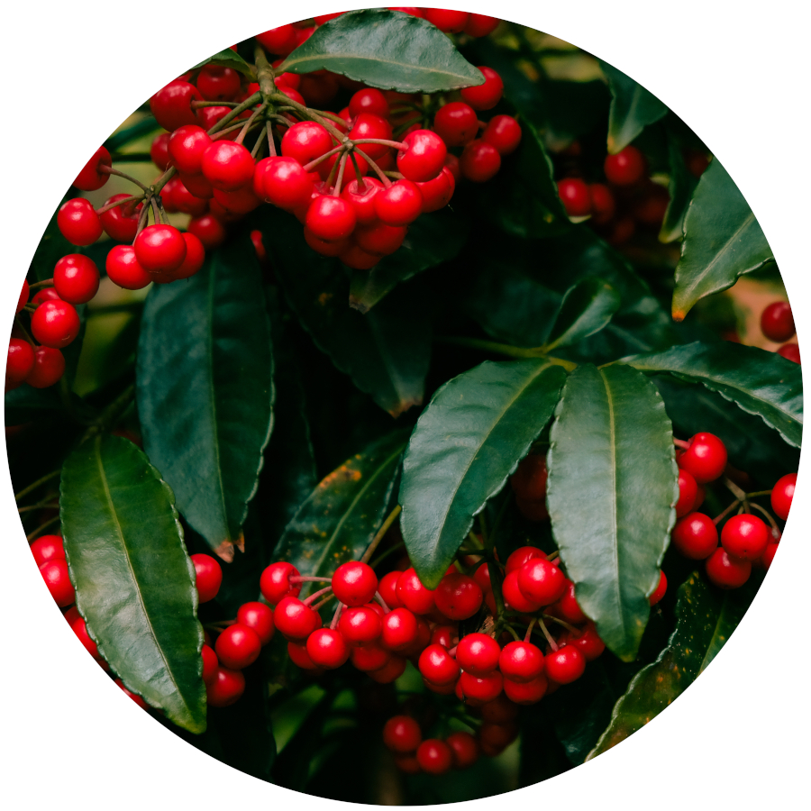 Poisonous Plants - Holly Berries