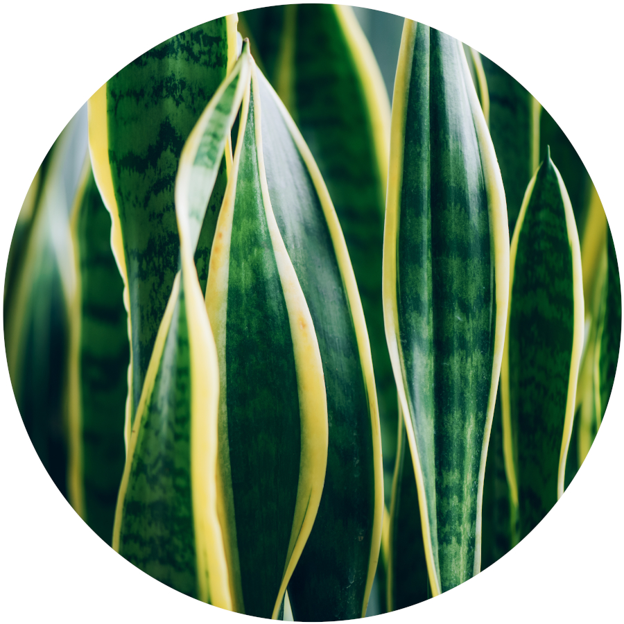 Poisonous Plants - Snake Plant