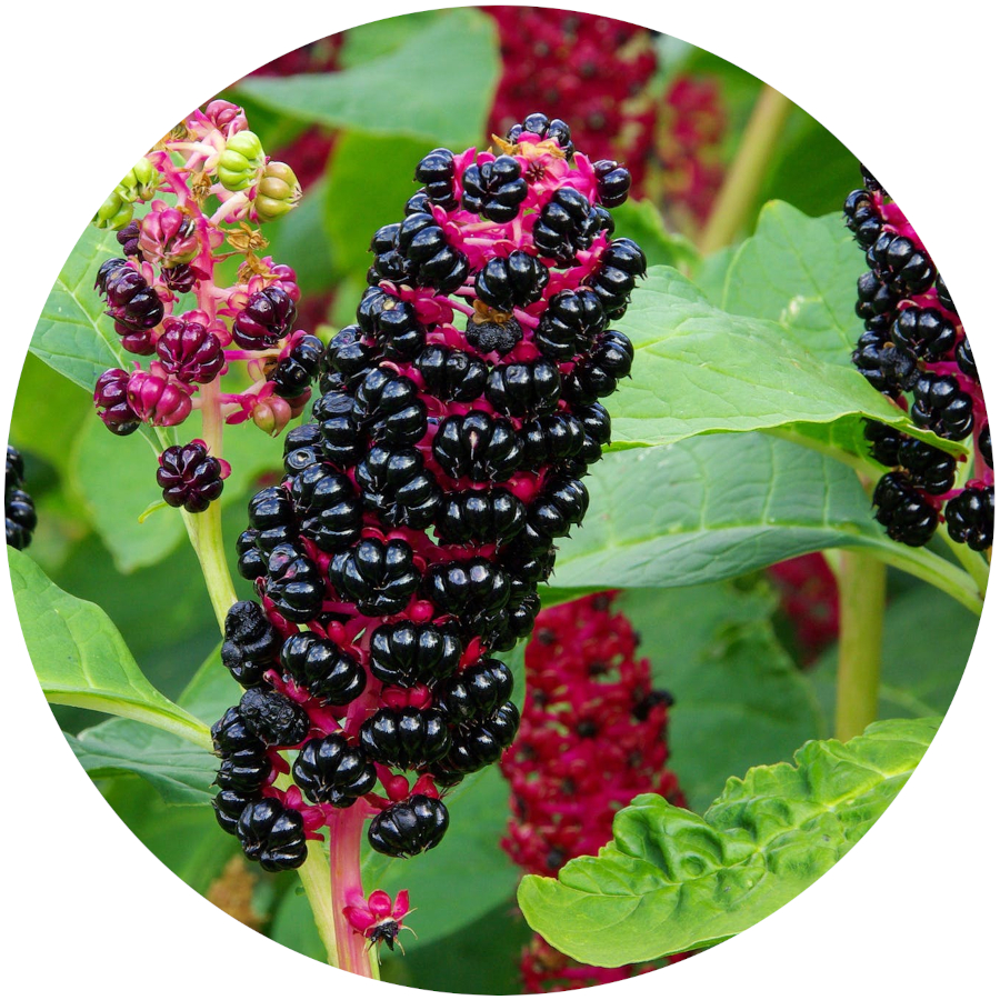 Pokeweed Poisonous to Dogs