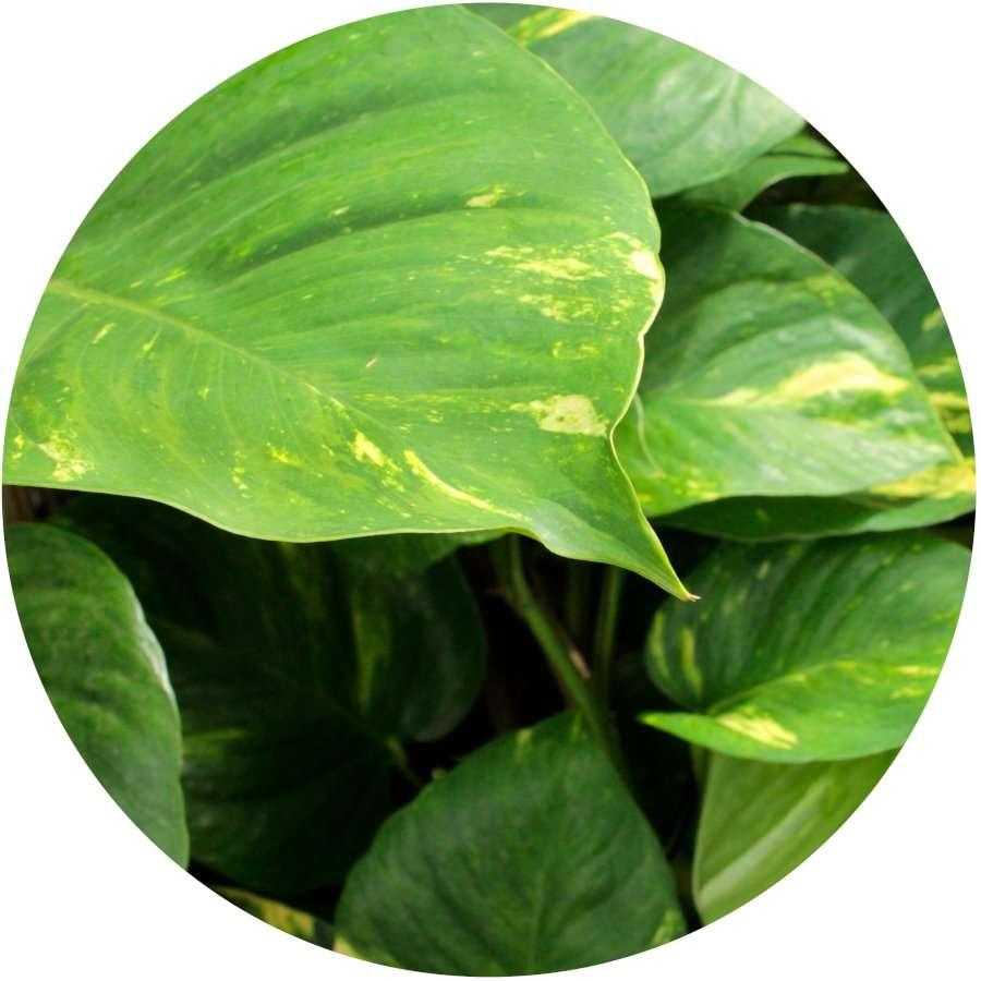 Pothos Plant Poisonous