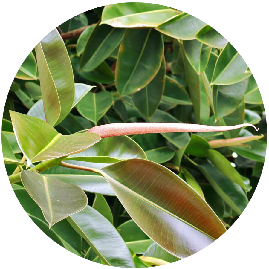 Rubber Tree Plant - Poisonous to Pets