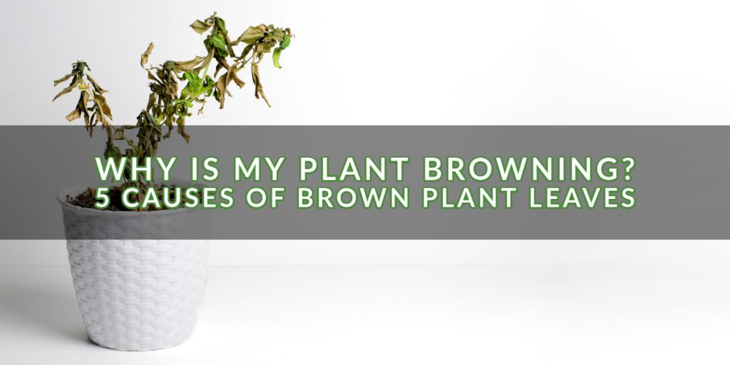 Why is My Plant Browning_ 5 Causes of Brown Plant Leaves