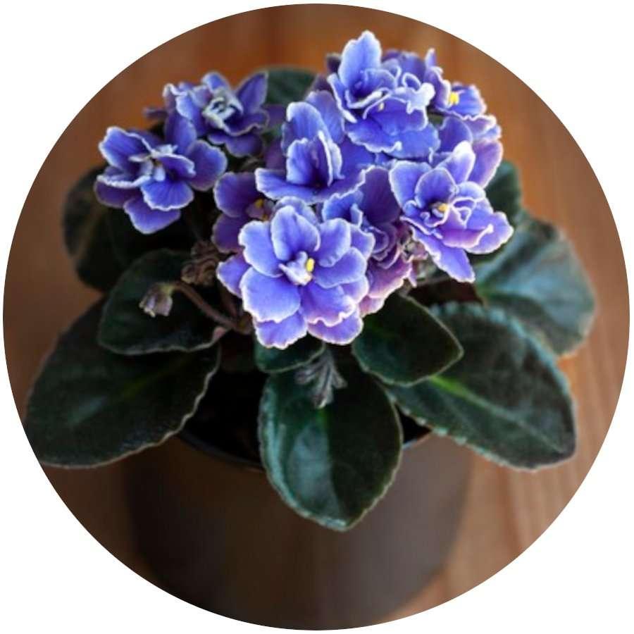 Flowering African Violet for Indoors