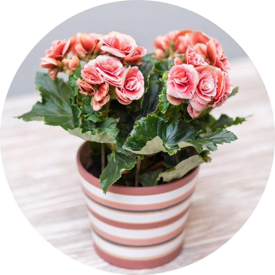 Indoor Flowering Begonia
