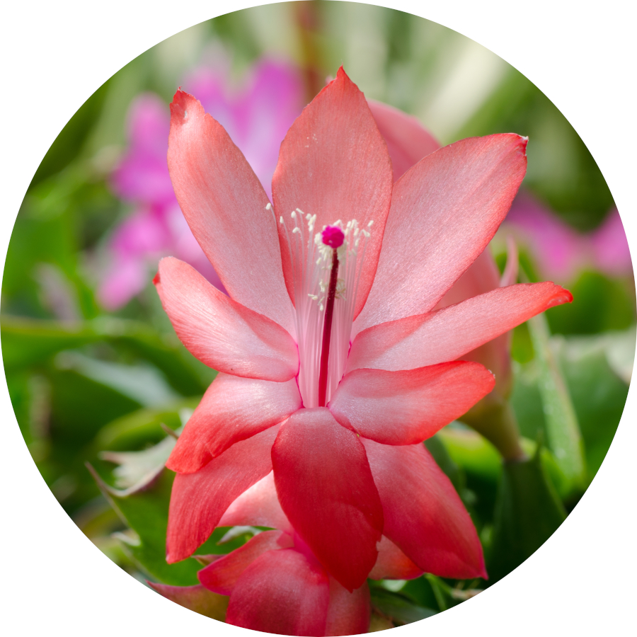 Indoor Flowering Christmas Cactus Plant