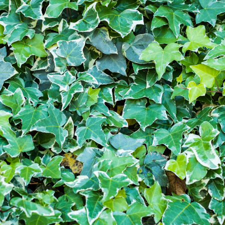 low maintenance English Ivy