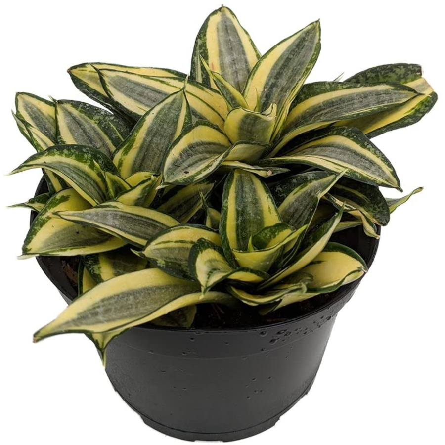 Houseplants for Low Light Areas - snake plant