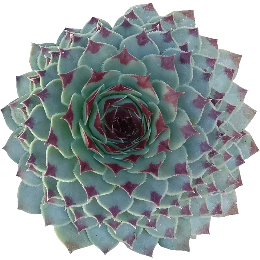 Green Wheel Sempervivum