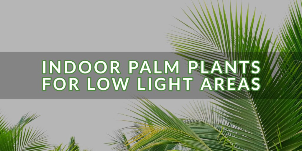 Indoor Palm Plants for Low Light Areas