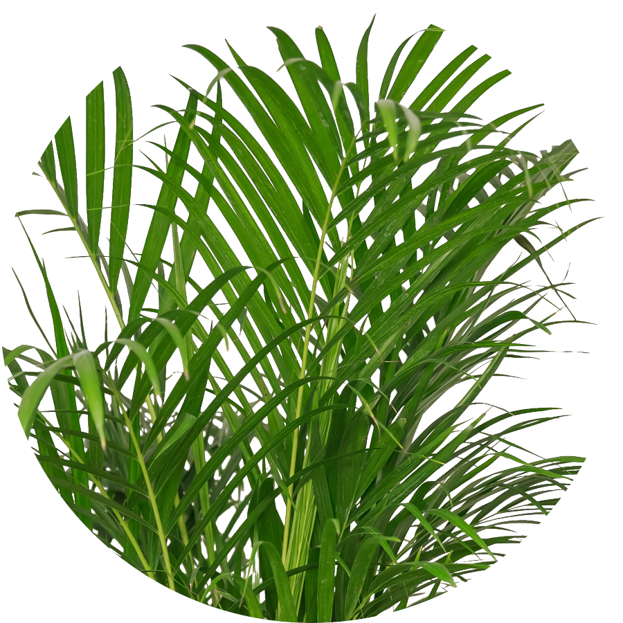 Kentia Palm Plants for Indoors