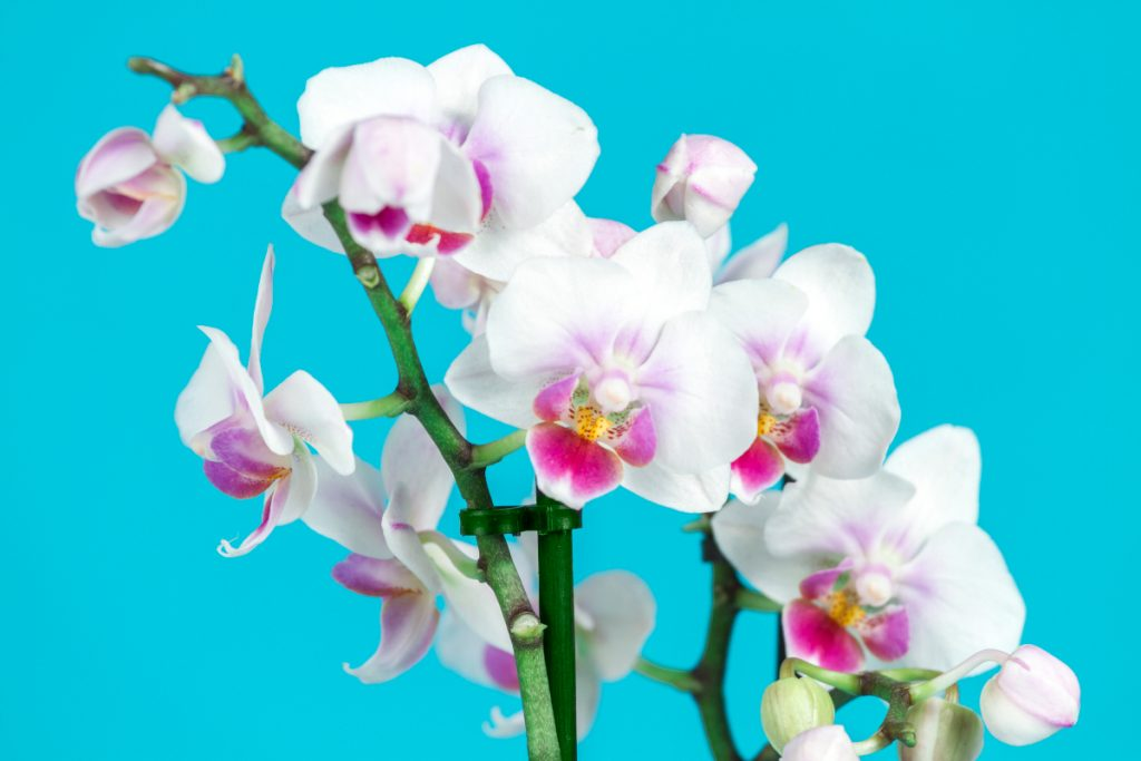 Indoor Orchid Care