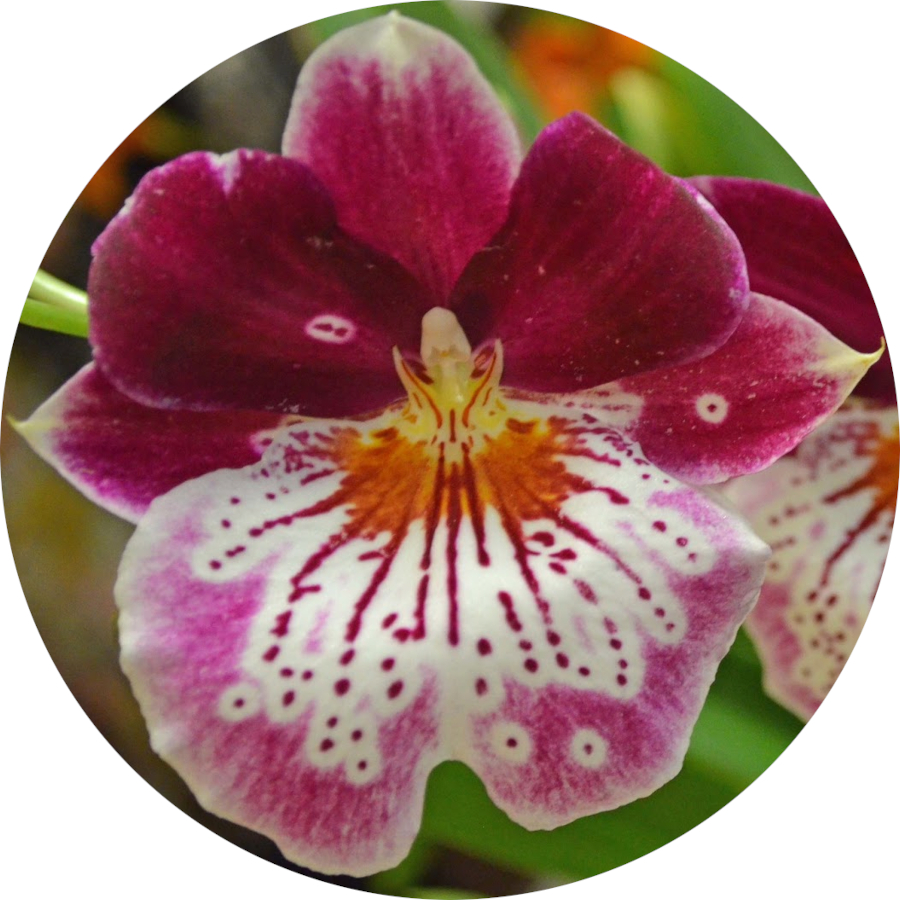Indoor Pansy Orchid Care
