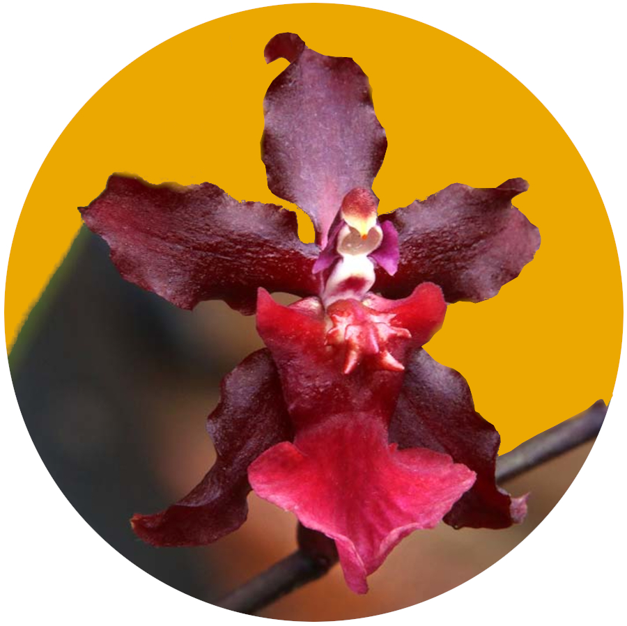 Sharry Orchid