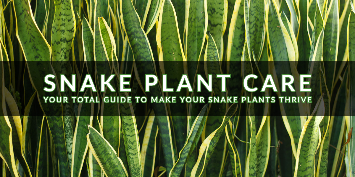 Snake Plant Care_ Your Total Guide to Make Your Snake Plant Thrive