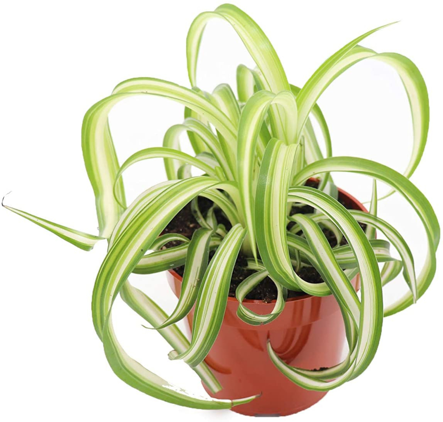 Houseplants for Low Light Areas - spider plant