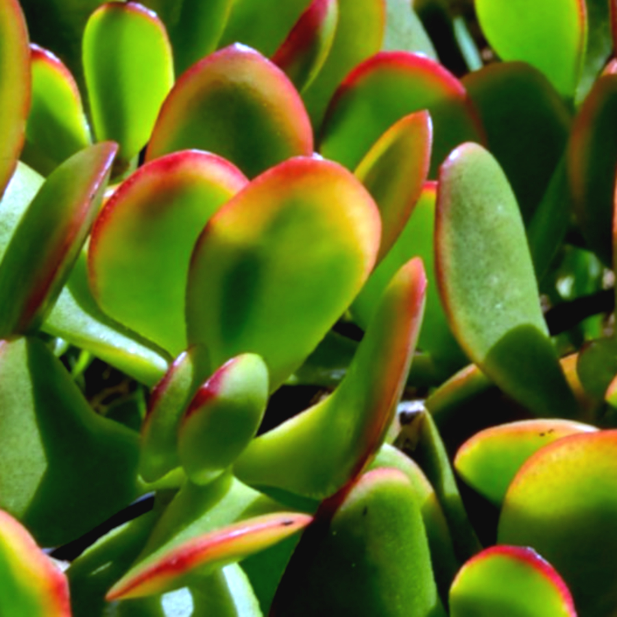 Botany Bay Jade Plants