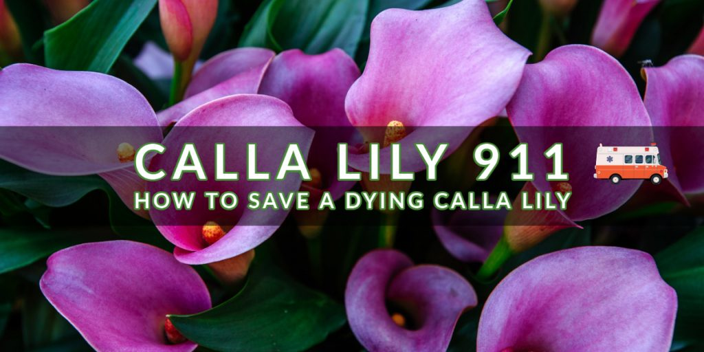 Calla Lily 911_ How To Save a Dying Calla Lily