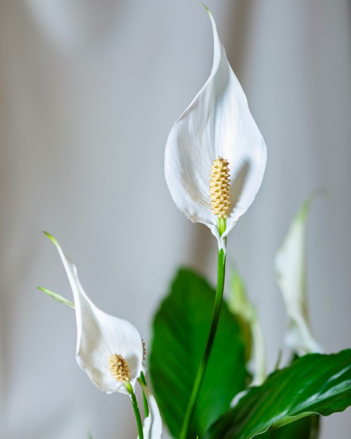 Indoor Peace Lily Care