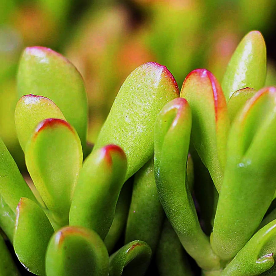 Hobbit Jade Plant