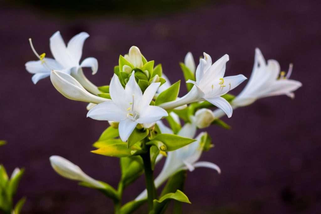 Hosta Flowers