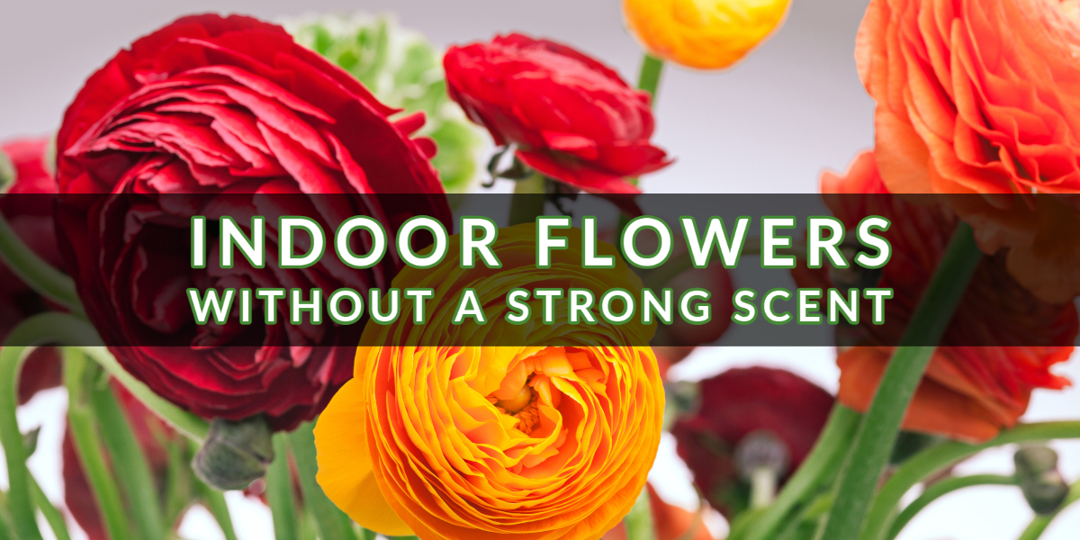 Indoor Flowers Without A Strong Scent (1)
