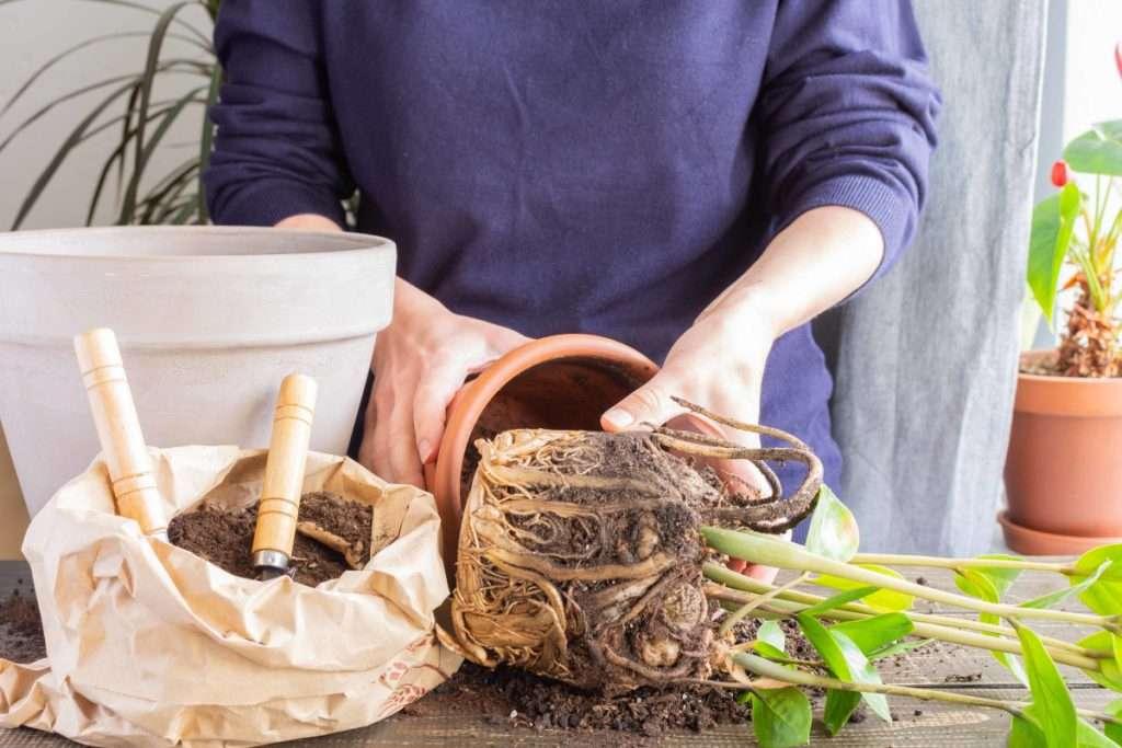 Indoor Gardening Mistakes - Repotting