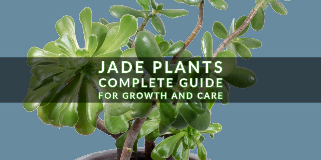 Jade Plants: Complete Guide for Growth and Care