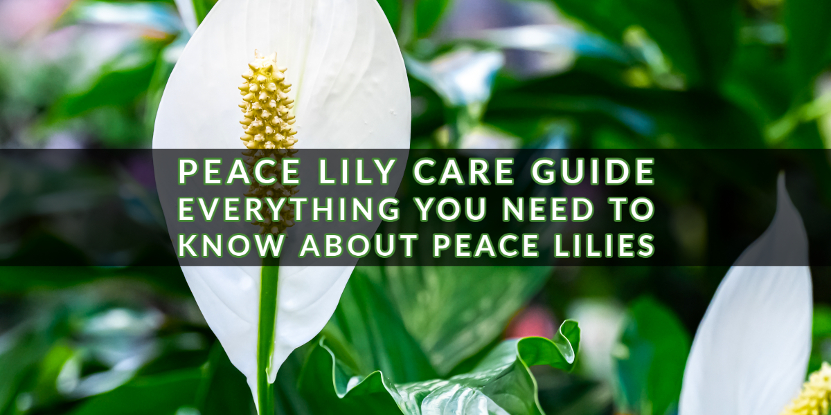 Peace Lily Care Guide_ Everything You Need to Know About Peace Lilies