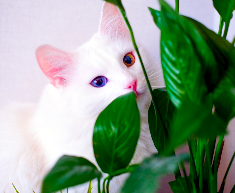 Peace-Lily-Poisonous-for-Cats