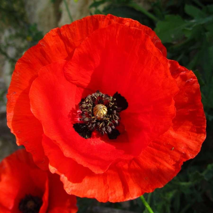Poppy Flowers don't smell