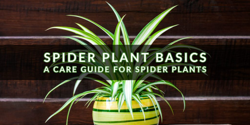 Spider Plant Basics_ A Care Guide for Spider Plants