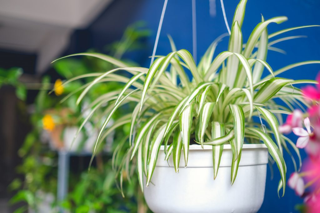 Spider Plant- Low-Maintenance Plants
