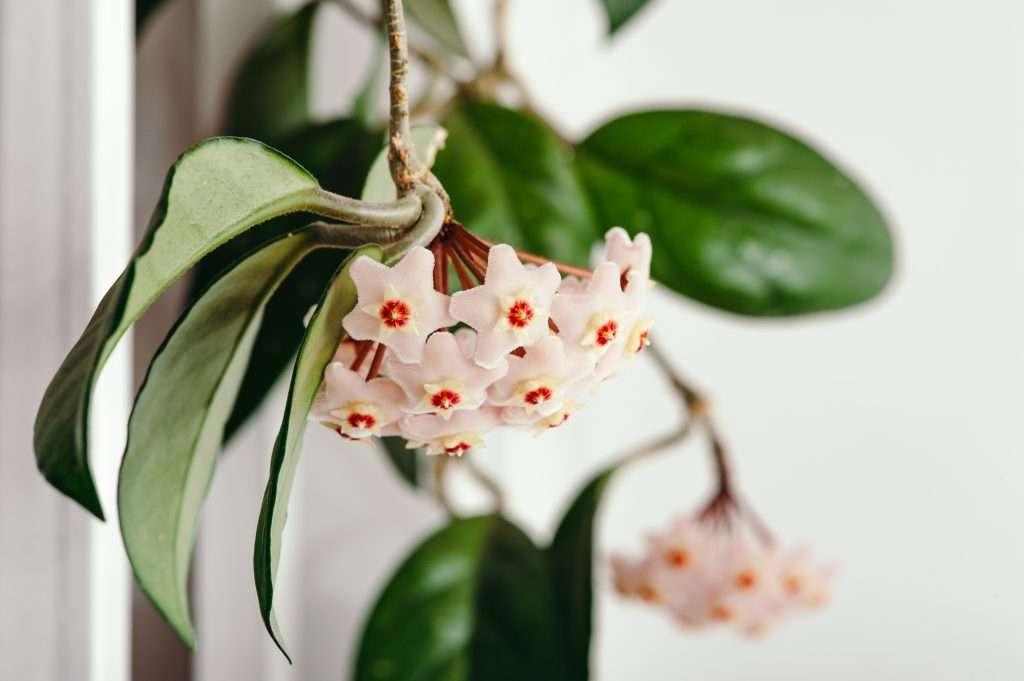 hoya carnosa hanging plants