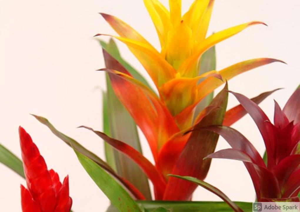 Indoor Bromeliad Care