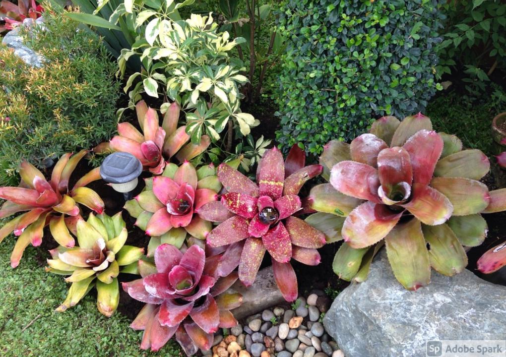 Indoor Bromeliad Varieties