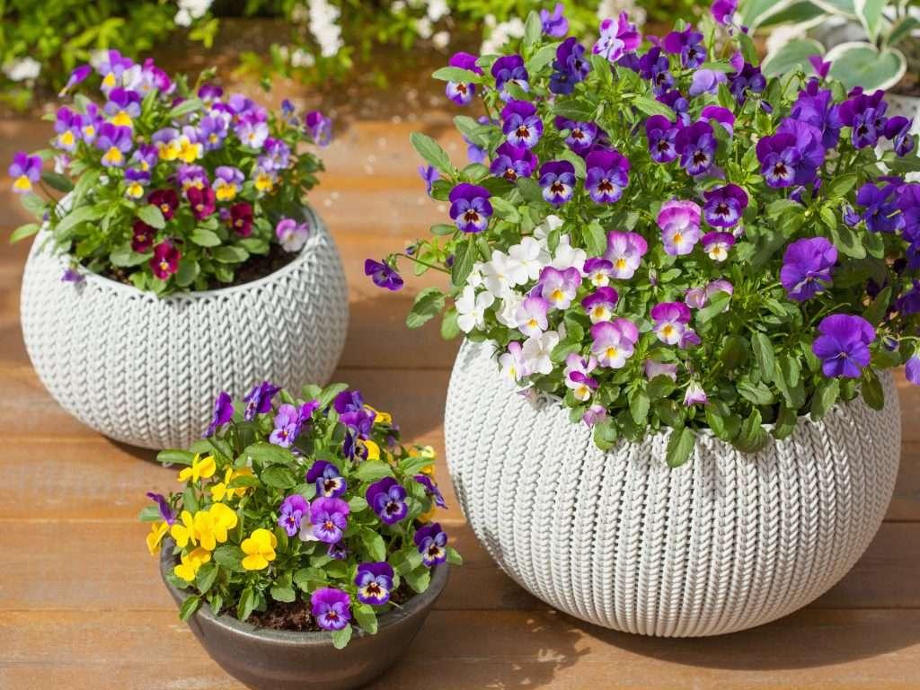 pansies plant