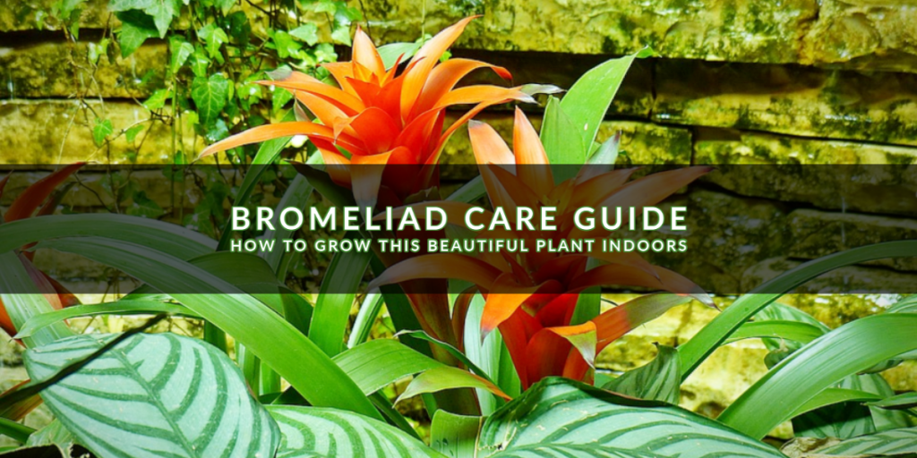bromeliad cover