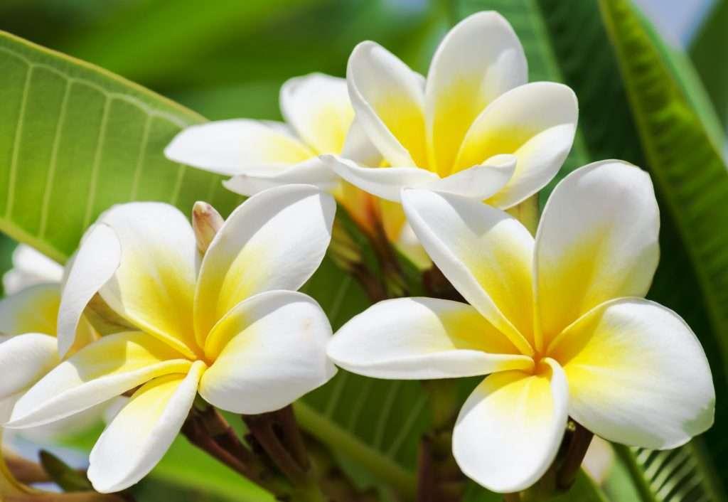 purity-white-plumeria