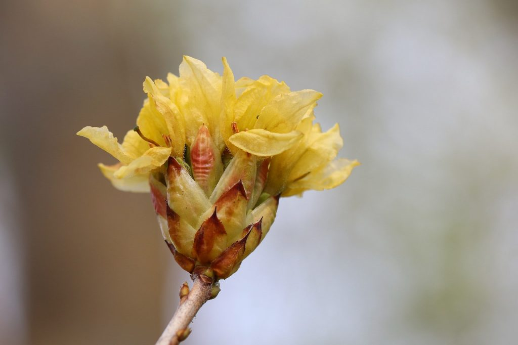 azaleas bud