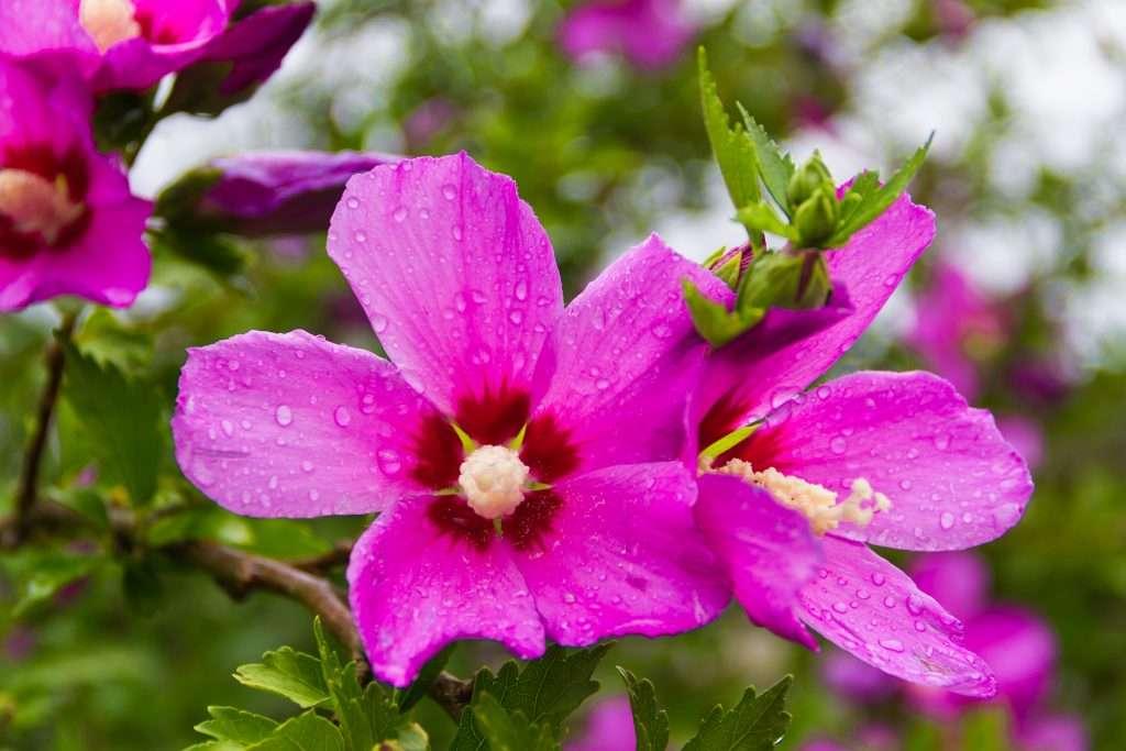 rose of sharon humid