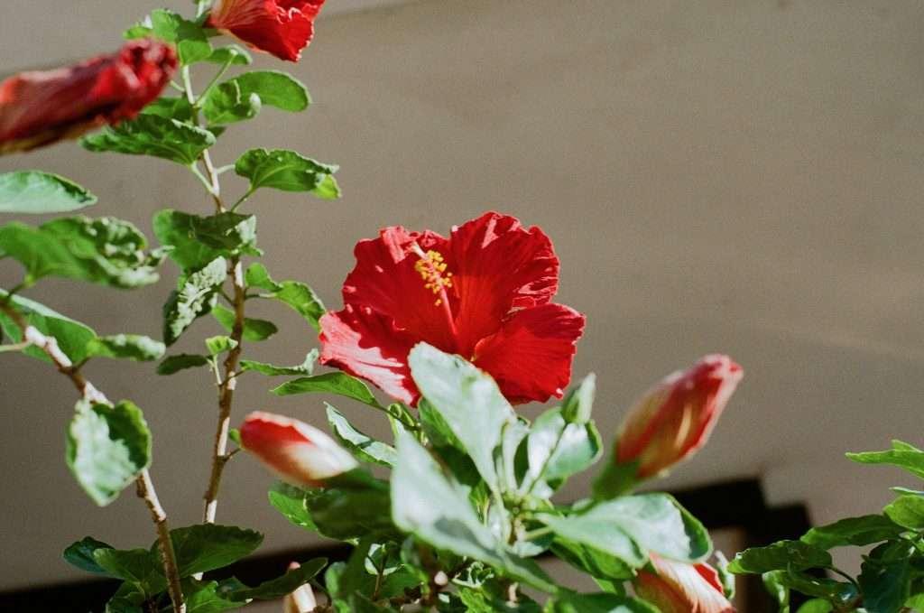 rose of sharon indoor