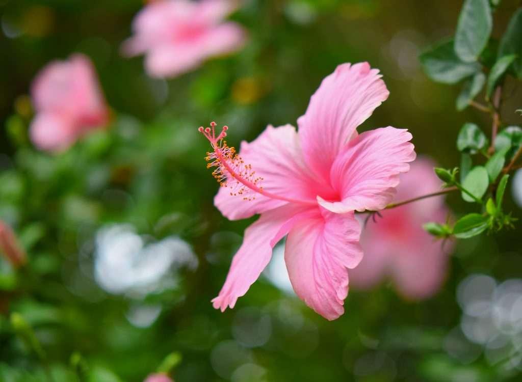 Hibiscus Pink rose of sharon