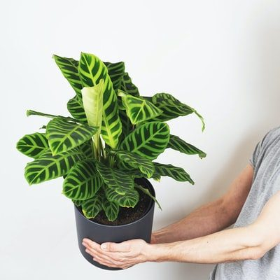 Rattlesnake Plant Care - zebrina
