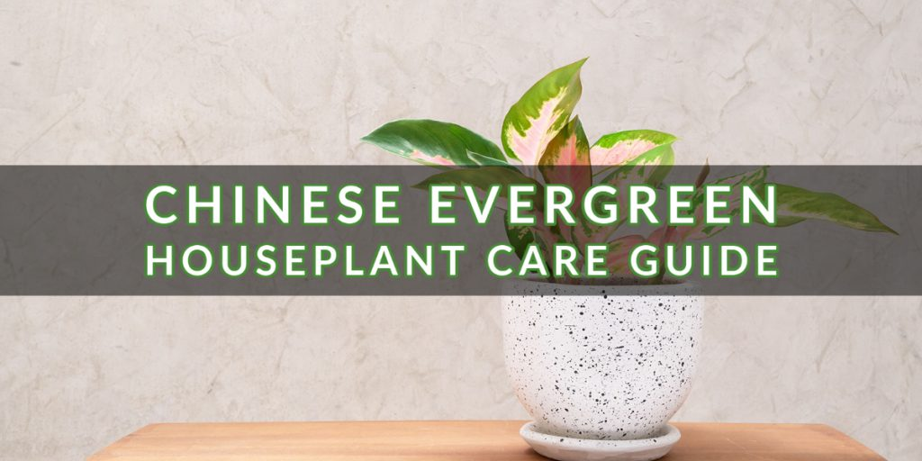 Chinese Evergreen Houseplant Care Guide