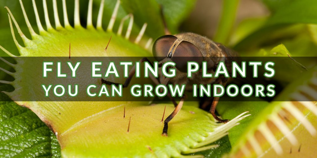 Fly Eating Plants You-Can-Grow-Indoors