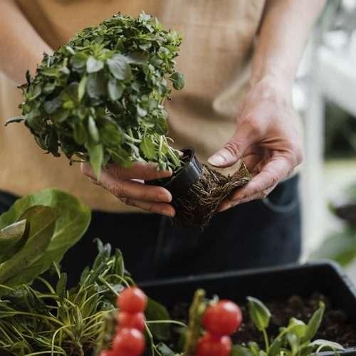 Treating Root Rot pythium